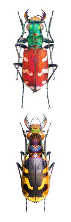 Жук. Beetle.