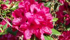 Beautiful azaleas.