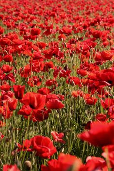 red poppies- one of my favorite flowers