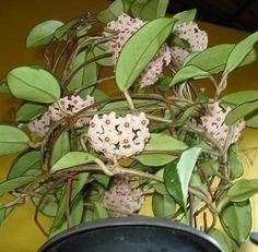 Flor de cera é linda mesmo! Mas se você tem uma casa, deve aprender a cuidar dela. #plantas