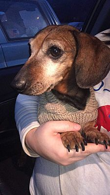 Pictures Of Sadie A Dachshund For Adoption In Painted Post Ny Who