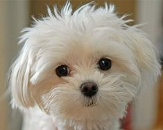 I have a Maltipoo and he looked like this when he was a baby.Maltese dogs are one of many breeds of dogs I like. This one reminds me also of 2 Maltese I had as a young adult. Cute Puppies, Dogs And Puppies, Cute Dogs, Doggies, Animals And Pets, Baby Animals, Cute Animals, Funny Animals, I Love Dogs