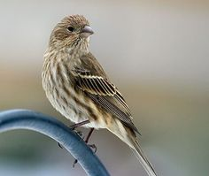 House Finch Female  Brown back and wings Breast and flanks with brown streaking Plain face © Maria Corcacas/PFW, January 2008