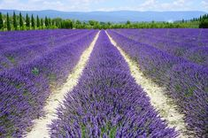 Looking for the best day trips from Nice? Find out 18 amazing places to visit, such as Monaco, Provence countryside & lavender fields, . Lavender Oil For Skin, Lavender Fields, Lavender Flowers, Flowers Nature, Trekking Holidays, Provence Lavender, Lavandula Angustifolia, Salud Natural, How To Treat Anxiety