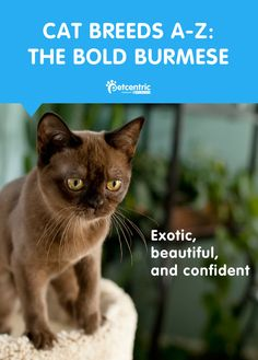 Doglike in temperament, smart, and affectionate, Burmese are a fascinating breed. See what else made these cats so beloved among Burmese kings on Petcentric.com.