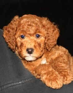 want for our next dog :-) Medium Multi Gen Goldendoodle (red/apricot) Standard Goldendoodle, Mini Goldendoodle, Golden Doodles, Labradoodles, Pets 3, Wishful Thinking, Poodles, Dog Stuff, Animals And Pets