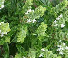 Basilic sacré - Tulsi <i>(Ocimum sanctum)</i> Anti-stress