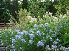 Arkansas Bluestar (Amsonia Hubrichtii), in the light blue, Spring blossoms.