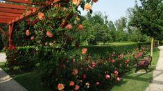 rózsa7 Plants, Garden