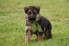 The German Shepherd Dog is a versatile working-dog of high intelligence and extremely capable of being trained to perform a wide variety of functions. Description from pinterest.com. I searched for this on bing.com/images