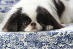 Fabel-Mi Japanese Chin in the USA - lists health tests. Puppy Dog
