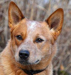 red heelers | Red Heeler Australian Cattle Dog