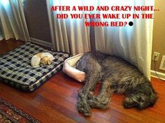 Funny!  Our cat used to take our St.Bernard/Lab mix's bed too....and he would just lay next to it.