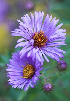 ~~New England Fall Aster by T.J. Martin~~