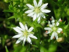 starwort flowers - welcome  they only have five petals but it looks like they have ten. each petal has the shape of a heart.