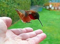 Hummingbirds that defend territories of many flowers remember which flowers they have recently emptied. This is precious