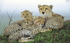 Cheetahs--maybe not so cuddly as they appear