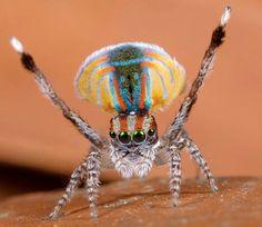 Aranha pavão da Austrália.