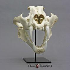 Bone Clones Skull - Amur Tiger