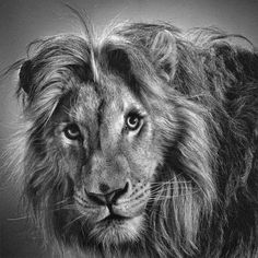10 Best Black White Animal Images On Pinterest Pencil Drawings