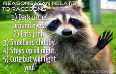 Reasons I can relate to raccoons...