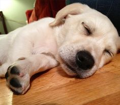 Charlie is all tuckered out  #corgi #corgidor #puppy #naptime by charlie.the.corgidor