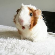 What do you mean there are no more strawberries? Baby Guinea Pigs, Guinea Pig Care, Cute Little Animals, Cute Funny Animals, Pig Pics, Guinea Pig Accessories, Guniea Pig, Cute Piggies, Cute Animal Pictures
