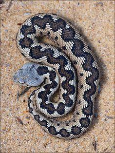 Lataste's Viper (Vipera latastei gaditana) | The coastal dun… | Flickr