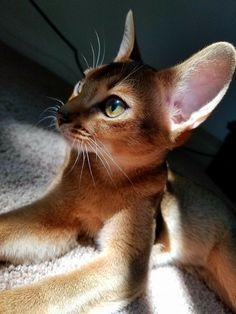 Shadows and light. A study of the magnificent Aby ears. Pretty Cats, Beautiful Cats, Animals Beautiful, Animals And Pets, Baby Animals, Cute Animals, Cute Cats And Kittens, Baby Cats, Exotic Cats