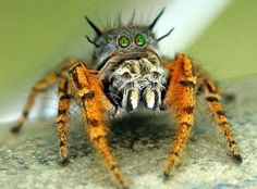 Jumping spider - Phidippus mystaceus / looks like it has Tiger Legs. Reptiles, Amphibians, Pet Spider, Hobo Spider, Spider Webs, Coconut Crab, Spiders And Snakes, Itsy Bitsy Spider, Jumping Spider