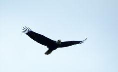 Weißkopfseeadler/Bald Eagle