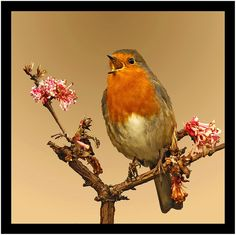 Robin with a song | Flickr - Photo Sharing!
