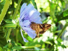 Fiore Cicoria selvatica - Wild Cicory Flower