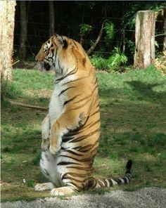 Sit up and beg? Screw you, I'm a tiger. I don't beg.