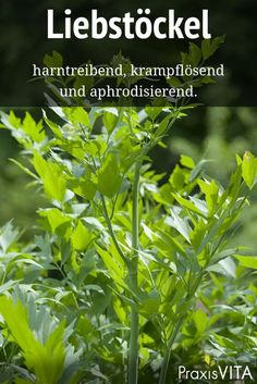 Liebstöckel lindert Entzündungen der Harnwege The antispasmodic effect of lovage is proven. It relieves inflammation of the urinary tract and prevents urinary distress.