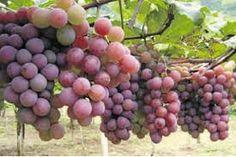 as mais belas uvas - Pesquisa Google