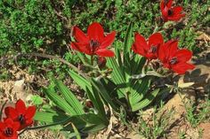 Babiana is a genus of flowering plants in the Family Iridaceae composed of about 80 species. Most of these species (about 49) are found in the south-western C
