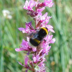 'Hummel auf rosa Blüte - Bumblebee on pink flower' von Linda Schilling bei artflakes.com als Poster oder Kunstdruck $16.63