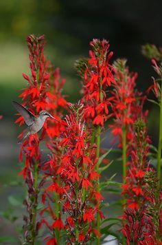 Prairie Moon Nursery :: Seeds :: Lobelia cardinalis (Cardinal Flower)