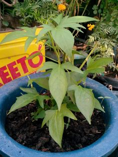 Sweet potato plant in a pot...