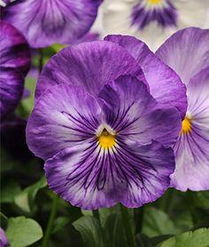 Pansy, Matrix Lavender Shades