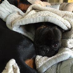 Danger zone. #livingontheedge  #frenchies1 #frenchiebullys #french_bulldogs #frenchiesociety #wildman #daredevil #crazy #topdogphoto #thefrenchielove #thefrenchiepost #frenchiesoverload #mannyandfriends #mannysbuddyoftheweek #mydogiscutest #baguettesbuddy #bestwoof #best #LOVEABULLY #orijendog #lacyandpaws #poochpal #animalsco #animalbuzz #ruffpost #featureme #dogsandpals #dogsbeingbasic #dogfeatures #dobermanpride by bulldogbatman