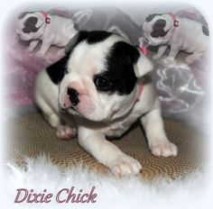 Dixie Chick , A Splash Boston Terrier !! She is the daughter of my girl Duff-ee & & my Boy Beacon.