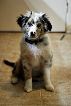 Aussie sweetness! Love them, want this pup!!