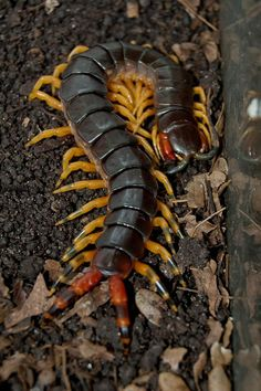 ˚Amazon giant yellow legged centipede, Scolopendra v. viridicornis - Brazil