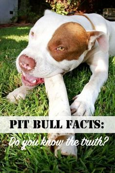 Pit Bull Facts: Do YOU Know The Truth   http://www.thelazypitbull.com/2012/02/pit-bull-facts-do-you-know-truth/