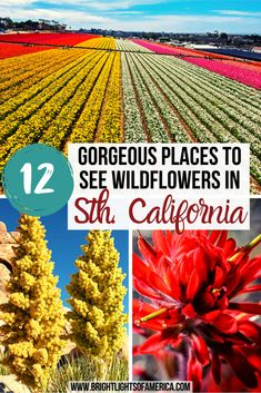 Discover all the best places to see wildflowers in Southern California this spring. This guide includes the best times to visit each location, and the types of flowers you'll see at each location. Southern California Wildflowers | Wildflowers in California | Flower fields in California | Southern California wildflower fields Arizona Travel, Oregon Travel, California Travel, Southern California, Usa Travel Map, Canada Travel, San Miguel Island, Mojave National Preserve, California Wildflowers