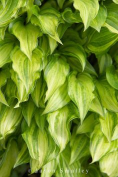 Hosta 'Inaho', O'Brien Nursery. Photo: Jason Smalley