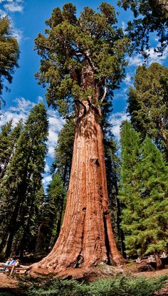 The General Sherman is a giant sequoia tree located in the Giant Forest of Sequoia National Park in California, United States. It is a massive sequoia tree with an estimated bole volume of cu… Giant Sequoia Trees, Giant Tree, Big Tree, All Nature, Nature Tree, General Sherman Tree, Sequoiadendron Giganteum, Sequoia National Park Camping, Redwood Forest