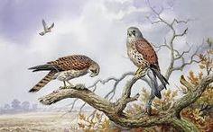 pair bird of prey - Google Search